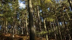Groups fear loss of SC forests to fill Europe's energy needs